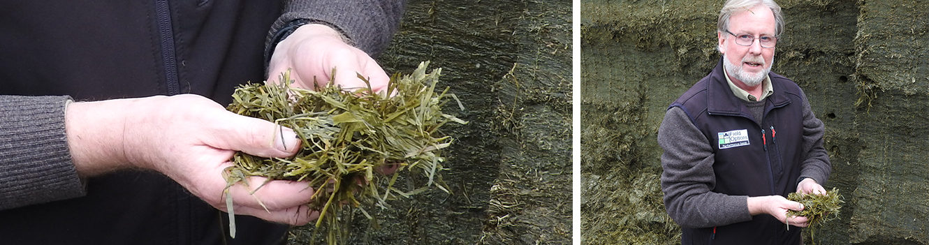 RED CLOVER OFFERS POTENTIAL TO BOOST PRODUCTION FROM FORAGE