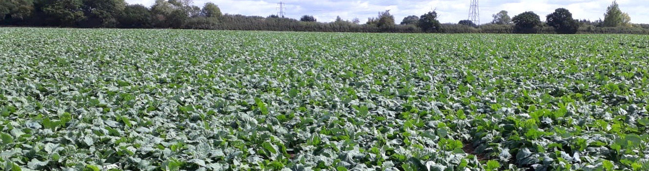 Nurture promising OSR crops through autumn challenges to keep them on track